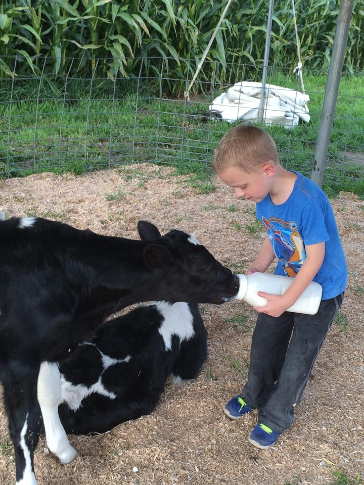 Boy feeding Baby Calves
